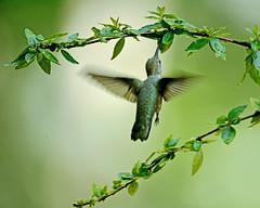 Little greenback (justkim1106) Tags: hummingbird nature bird wildlife texasbird texaswildlife texasoutdoors bokeh naturebokeh flight birdinflight green wings motionblur tinybird