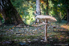 Borgata ascheri sottani 68/b, 12064 La Morra, Italia (beppeverge) Tags: autumn autunno beppeverge bosco fall forest funghi fungo fungus mushroom natura sottobosco