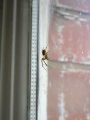 Spider on a window, 2018 Oct 23 (Dunnock_D) Tags: chester unitedkingdom gb england britain uk spider window