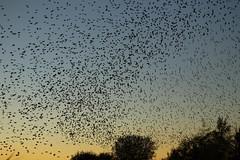 Starlings {explored} (Cosper Wosper) Tags: starling hamwall murmiration starlings birds flight rspb somerset