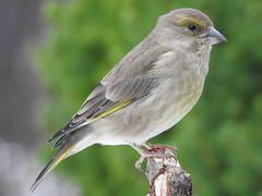 Greenfinch (Carduelis chloris) (eerokiuru) Tags: greenfinch carduelischloris grünling rohevint bird backyardbirds p900 nikoncoolpixp900