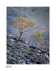 "'Hanging on"" (steveowen528) Tags: snowdonia landscape llanberis mountains llynpadarn moody dolbadarn landscapeautumn rocks dinorwic wales northwales quarry gwynedd snowdon uk slate"