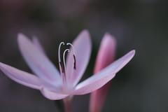 la danse (christophe.laigle) Tags: rose christophelaigle fleur macro nature flower fuji xpro2 xf60mm pink coth coth5