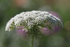 Douceur florale **--- ° (Titole) Tags: shallowdof queenanneslace bokeh titole nicolefaton thechallengefactory