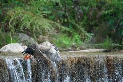 Duck in flight attempt 2! (Ruroni Poru) Tags: animals birds duck japan kobe flight water river fuji xt3