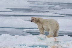 Where Polar Bears roam (alicecahill) Tags: arctic svalbard norway ©alicecahill mammal scandinavia animal origoexpedition wild wildlife travel bear snow ice polarbear europe white
