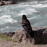 Raven. Numa Creek - Kootenay National Park thumbnail