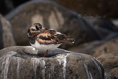 Ruddy Turnstone 20180829_9353 (GORGEous nature) Tags: arenariainterpres clatsopco oregon ruddyturnstone seaside summer vertebrates bird ocean pacificocean scenic shorebird water august ©johndavis
