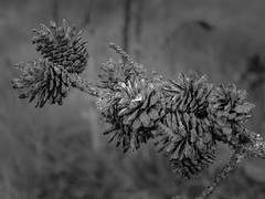 Pine cones (Bob 6214) Tags: pinecone itascastatepark minnesota latesummer nature abstract landscape