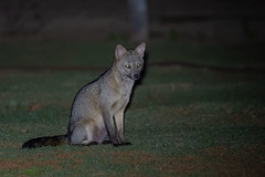 Nightly Visitor (fascinationwildlife) Tags: animal mammal crab eating fox night nocturnal fuchs maikong krabbenfuchs pantanal brasilien brazil south america tiere wild wildlife nature natur curious central