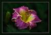 Purple D'Oro Daylily (hey its k) Tags: 2018 backyard flowers lily nature hamilton ontario canada ca img4900e daylily purple doro topaz