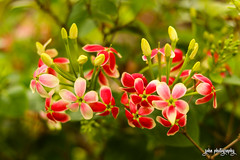 In Bloom (smzoha) Tags: greenery green plant leaves flowers pink white buds macro bokeh beauty vibrant colorful colors sharp branches wood garden park amazing
