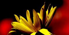 Słonecznik bulwiasty. (andrzejskałuba) Tags: polska poland pieszyce dolnyśląsk silesia sudety europe plant panasoniclumixfz200 roślina kwiat flower słonecznikbulwiasty jerusalemartichoke yellow żółty red color czerwony beautiful flora floral macro natura nature natural natureshot natureworld cień czarny black shadow