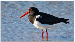 Australian Pied Oystercatcher (Bear Dale) Tags: australian pied oystercatcher ulladulla southcoast new south wales shoalhaven australia beardale lakeconjola fotoworx milton nsw nikon d850 photography framed nature nikkor afs 200500mm f56e ed vr teleconverter tc14e iii shoreline shore shorebirds bird birds beak ocean seashore estuary sea waterbird blackwhite