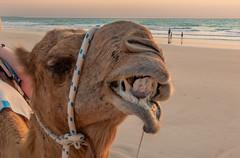 10003418.jpg (KevinAirs) Tags: camels kevinairs ocean camel travel westernaustralia ©kevinairswwwkaozcomau sand sky landscape landscapes beach australia sea
