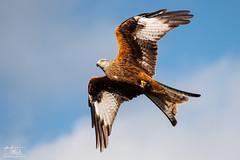 Red Kite (Craig Hollis) Tags: red kite brecon beacons wales bird prey