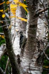 Hungry (Clif Budden) Tags: 2018 bowringpark canada environment nl nature newfoundland october outdoors stjohns