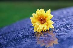 Mum on the Hood (SkyeHar) Tags: macro chrysanthemums mum waterdrops droplets raindrops water rain colorful yellow blue green flower flowers bokeh sonya6300 dof weather fleur flor blume regentropfen tropfen goccia gotas makro lookingcloseonfriday reflection