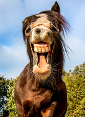 laughing out loud (Matthias-Hillen) Tags: mouth mussle schnauze maul pferd horse pony nose nase close nah dran deutschland germany niedersachsen matthias hillen matthiashillen irish cob tinker wiehern lachen neigh whinny laughing zähne teeth funny lustig