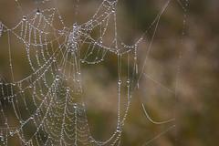 Fog, again (Jan.Timmons) Tags: webwebnesday foggydew spiderweb field dewyweb pacificnorthwest happyfog nature