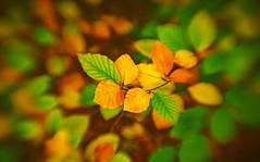 Autumn Series - 16 (Dhina A) Tags: sony a7rii ilce7rm2 a7r2 a7r psychotar 50mm noname50mm russian soviet ussr vintage monocle autumn series fall colours colors leaves park