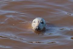 Seal (GordyBUK) Tags: spittal berwickupontweed rivertweed wildlife sealife nature september2018 september northumberland seal greyseal naturalworld winking wink