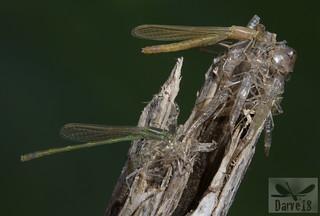 Sahara Bluetail  - Ischnura saharensis (Aguesse, 1958)