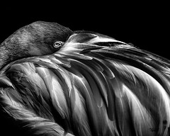 Flamingo At Rest (lifeasme40) Tags:
