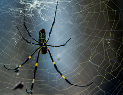 FavoriteSpidey (mehtab94) Tags: nature spider spiders summer fall wildlife natgeo scary halloween insect web cobweb colors garden