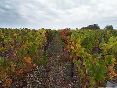 Vignoble (Cjasar) Tags: vignoble vineyard vignâl vigna medoc bordeaux france aquitanie vines wine vin vino journey travel viaggio atôrpalmont