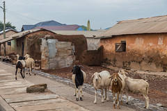 Larabanga (bruno vanbesien) Tags: ghana larabanga goat northern gh