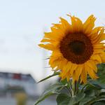 Lady sunflower thumbnail