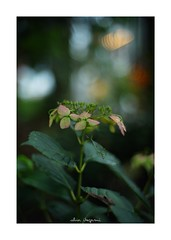 2018/9/2 - 11/15 photo by shin ikegami. - SONY ILCE‑7M2 / Lomography New Jupiter 3+ 1.5/50 L39/M (shin ikegami) Tags: macro マクロ 紫陽花 flower 花 井の頭公園 吉祥寺 summer 夏 sony ilce7m2 sonyilce7m2 a7ii 50mm lomography lomoartlens newjupiter3 tokyo sonycamera photo photographer 単焦点 iso800 ndfilter light shadow 自然 nature 玉ボケ bokeh depthoffield naturephotography art photography japan earth asia