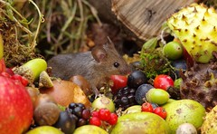 wild house mouse with wild picked fruits nuts and berries Autumn display (9) (Simon Dell Photography) Tags: mouse nature wildife wild free garden mice animal rodent cute funny seasonal autumn fall season winter colors pumpkin conkers horse chestnut fruits berries bounty log pile george house halloween fright night 13th friday fun simon dell photography sheffield s12 hackenthorpe