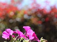 Good-bye summer (MomOfJasAndTam) Tags: summer flowers flower bokeh orange pink plant bubbles bubblebokeh