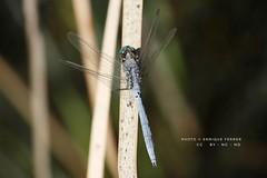 Esta libélula puede ser de la  especie Orthetrum coerulescens,  Orden Odonata y Familia Libellulidae . (EMferrer) Tags: insecto orthetrumtrinacria wildlife libelula odonata orthetrum libellulidae arthropod nature macroinsect fotomacro caballitodeldiablo naturaleza hexapoda macrodragonfly vidanatural animalia macrolibelula macrophoto anisoptera insecta bestdragonfly caballitodiablo macrofoto arthropoda macrosp dragonfly odonato