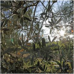 anselmo 86 (beauty of all things) Tags: italien toskana montespertoli anselmo quadratisch olivenbäume olivetrees intothelight