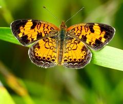 Pearl Crescent Butterfly (Eat With Your Eyez) Tags: pearl crescent butterfly insect bug animal wing medina county ohio panasonic fz1000 macro beautiful outdoors park summer bokeh