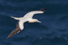Red-footed Booby (Sula sula) (SharifUddin59) Tags: redfootedbooby sulasula seabird bif bird birdinflight ocean kilaueapoint kilaueapointnwr kilauealighthouse kauai kilauea hawaii