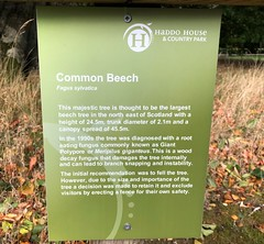 Haddo Country Park - Aberdeen Scotland - 3/10/18 (DanoAberdeen) Tags: information notice badge plaque beechtree fagussylvatica haddohouse countryside countrypark countrywalk outdoors autumn winter summer spring 2018 danoaberdeen danophotography freshair historicscotland historicenvironmentscotland history aberdeen aberdeenscotland bonnyscotland visitscotland visitaberdeen abdn abz iphone iphone8plus trees woods forest naturewalk countrysidewalk naturereserve haddocountrypark preservation conservation scottish gold scottishwilderness wilderness aged wet candid amateur formantine woodlands methlick highlands canmore green ramblers walkers dreamscape nature ancient climate