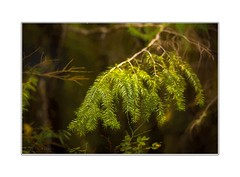 Trees of the forest (Krasne oci) Tags: forest northwest trees nature outdoors landscape woods pacificnorthwest mthood evabartos evergreen artphotography fineart painterly texturedphoto