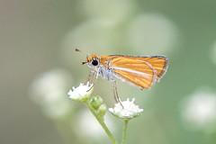 Copaeodes minima (fabriciodo2) Tags: copaeodesminima papillon mariposa butterfly nature macro mexique yucatan
