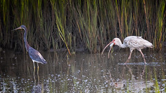 Crab Breakfast (dngovoni) Tags: action bird hiltonhead ibis pinckney southcarolina summer sunrise tricoloredheron water wildlife hiltonheadisland unitedstates us