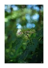 2018/9/8 - 7/21 photo by shin ikegami. - SONY ILCE‑7M2 / Lomography New Jupiter 3+ 1.5/50 L39/M (shin ikegami) Tags: sky 空 紫陽花 flower 花 井の頭公園 吉祥寺 summer 夏 sony ilce7m2 sonyilce7m2 a7ii 50mm lomography lomoartlens newjupiter3 tokyo sonycamera photo photographer 単焦点 iso800 ndfilter light shadow 自然 nature 玉ボケ bokeh depthoffield naturephotography art photography japan earth asia