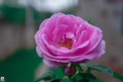 flower (Michell Fotografia) Tags: flower rosa riodejaneiro natureza desfoque flores jardim macrofotografia nomeujardim green pink