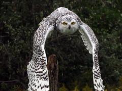 Robert Snowy Owl CRC IMG_5631 (Jennz World) Tags: ©jennifermlivick canadianraptorconservancy vittoria ontario canada raptors raptor bird snowyowl owl