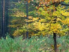 On the edge of a young forest I (Jacek Magryta) Tags: jacek borydolnoslaskie zgorzeleccounty zielonkavillage landscape lowersilesia light tree forest autumn colours wegliniec poland polska nature outdoor