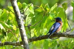 2018 05 10 036 Gassaway, WV (Mark Baker.) Tags: 2018 america baker east mark may north us usa virginia wv west american bird bluebird day eastern outdoor photo photograph picsmark rural spring states united wildlife