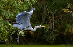 I'm off.!! ( Explored ) (nondesigner59) Tags: ardeacinerea greyheron flight wadingbird wildlife nature bird copyrightmmee eos7dmkii nondesigner nd59