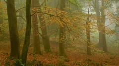 The Golden Bough (EmPhoto.) Tags: emmiejgee exmoor landscapepassion uk nationalpark mist misty sonya7r sonyzeiss2470mm autumn forest woodland beechwoods